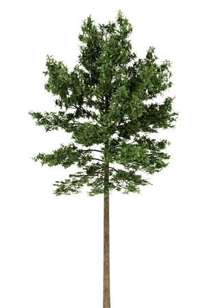 arbol de pino: árbol de pino silvestre aislado en el fondo blanco