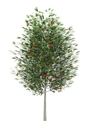 european rowan: european rowan tree isolated on white background