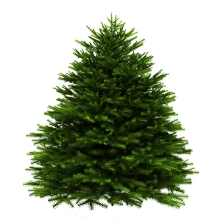 picea: momi fir tree isolated on white background Stock Photo