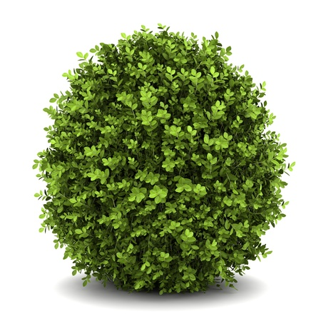 shrubs: dwarf english boxwood  isolated on white background