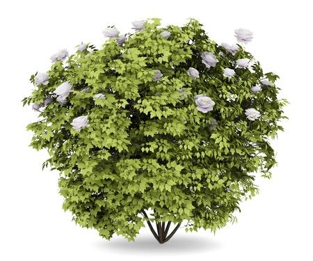 shrub: peony bush isolated on white background Stock Photo