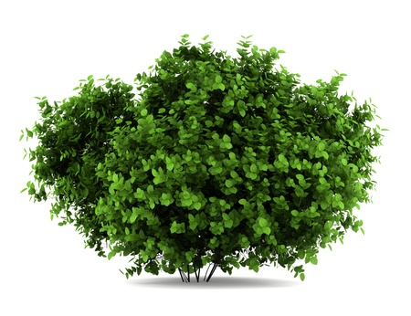 bigleaf Hortensienbusch isoliert auf weißem Hintergrund