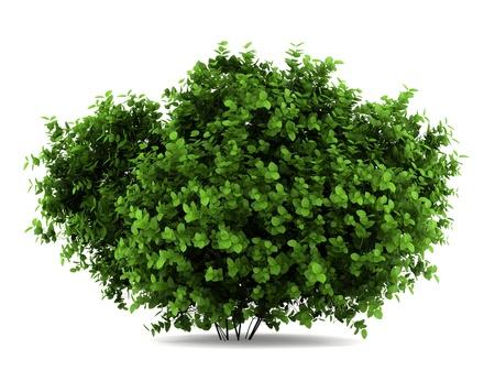 de hoja ancha hortensias Bush aisladas sobre fondo blanco