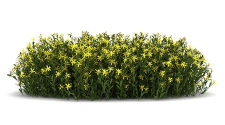 buisson: fleurs de genêt isolé sur fond blanc