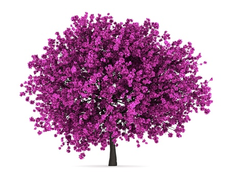 judas tree isolated on white background