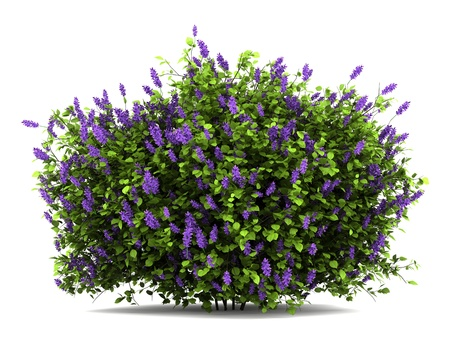 lilac flowers bush isolated on white background Stock Photo - 12683451
