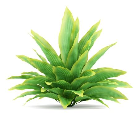 funkia bush isolated on white background
