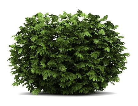 aralia: japanese aralia bush isolated on white background