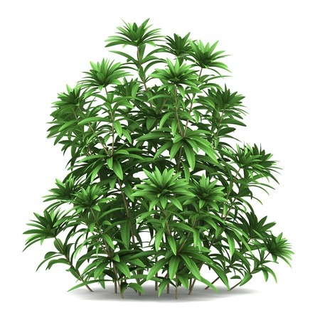 shrubs: japanese andromeda bush isolated on white background