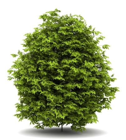 buisson: fusain verrucosa brousse isolé sur fond blanc