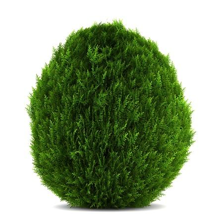 bush: eastern arborvitae bush isolated on white background Stock Photo