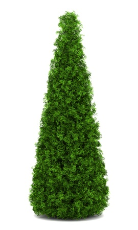 thuja occidentalis: eastern arborvitae bush isolated on white background Stock Photo