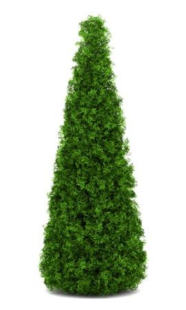 arborvitae: eastern arborvitae bush isolated on white background Stock Photo