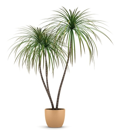 potted plant: dracaena plant in pot isolated on white background Stock Photo
