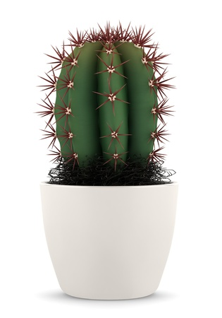 potted plant cactus: cactus in pot isolated on white background