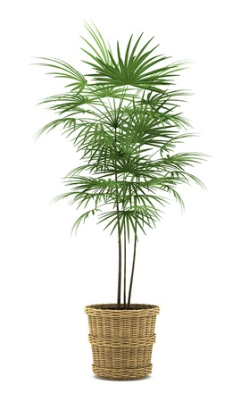 potted: palm tree in pot isolated on white background Stock Photo