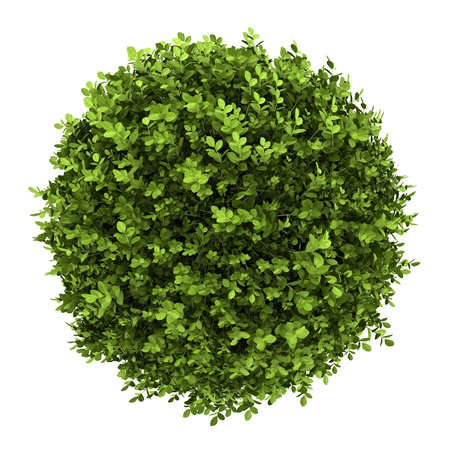 shrubs: top view of dwarf english boxwood isolated on white background