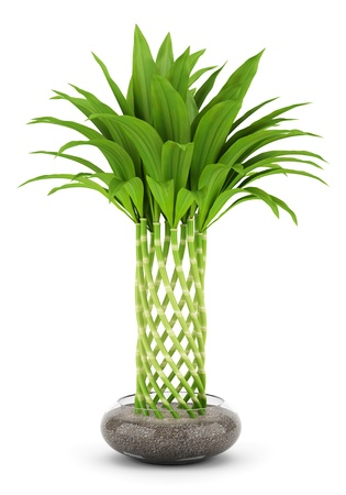 bamboo plant in pot isolated on white background photo