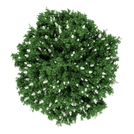 top view oakleaf hydrangea bush isolated on white background