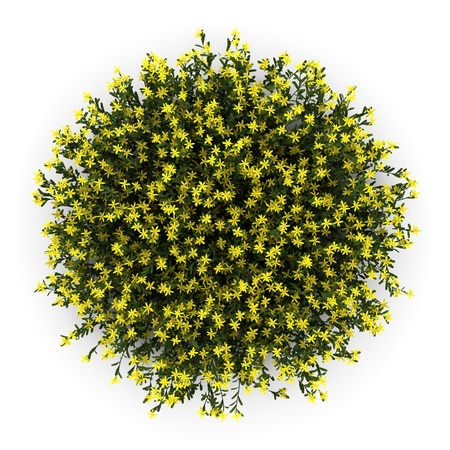 top view of broom flowers isolated on white background photo