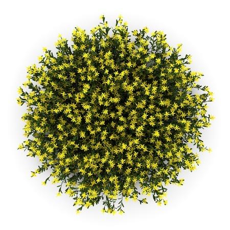 escoba: vista superior de flores de la retama aisladas sobre fondo blanco