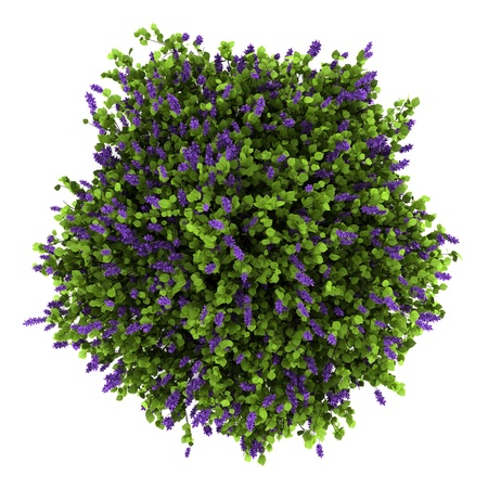 shrubs: top view of lilac flowers bush isolated on white background