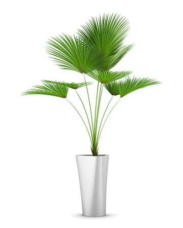 Potted plants: palm tree in pot isolated on white background Stock Photo