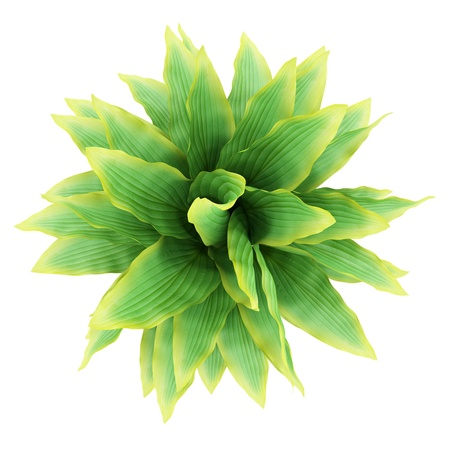 top view of funkia bush isolated on white background photo