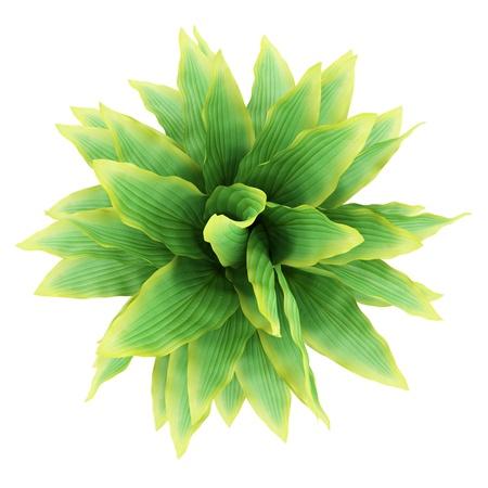 buisson: vue de dessus de funkia brousse isolé sur fond blanc Banque d'images