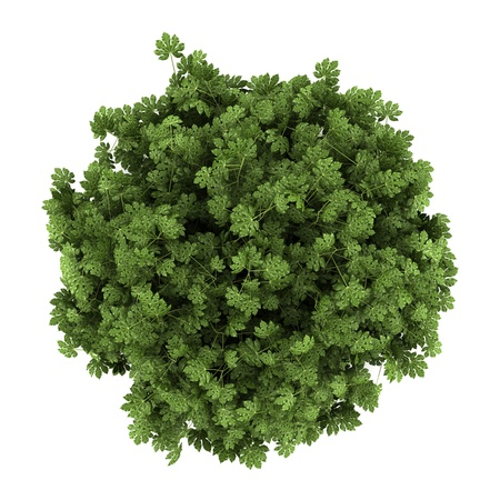 shrubs: top view of japanese aralia bush isolated on white background