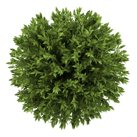 top view of bay laurel bush isolated on white background photo