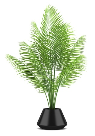 palm tree in black pot isolated on white background Stock Photo - 14154663