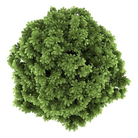 vis�o: vista de cima de bottlebrush buckeye mato isolado no fundo branco