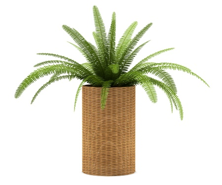 fern plant in pot isolated on white background
