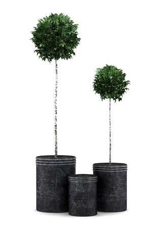 Potted plants: two potted birch trees isolated on white background