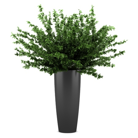 Potted plants: decorative plant in black pot isolated on white background