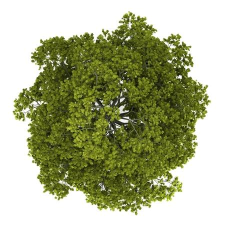 arbre vue dessus: vue de dessus de l'�rable de Norv�ge arbre isol� sur fond blanc Banque d'images