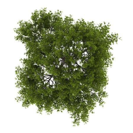亀裂柳の木が白い背景で隔離のトップ ビュー 写真素材