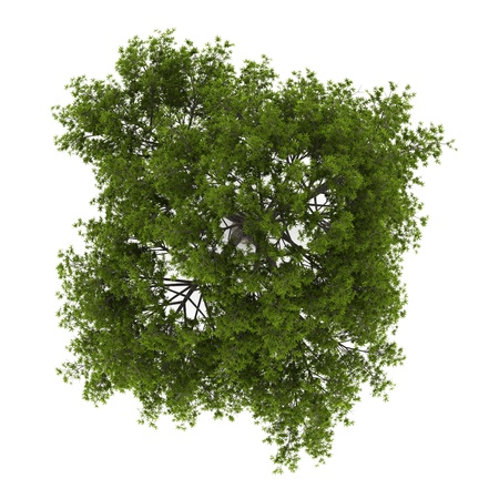 single tree: top view of crack willow tree isolated on white background