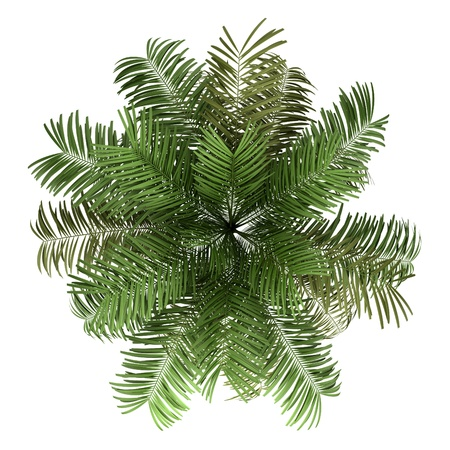 top view of areca palm tree isolated on white background