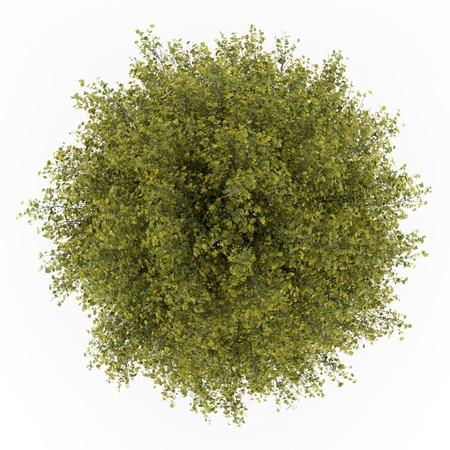 arbre vue dessus: vue de dessus de l'arbre ginkgo isolé sur fond blanc Banque d'images