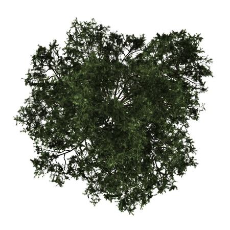 arbre vue dessus: vue de dessus de pin sylvestre isol� sur fond blanc