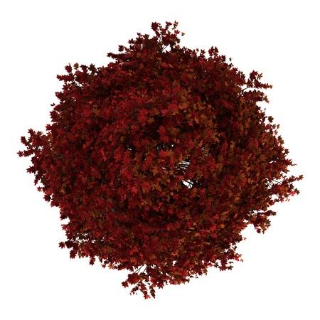 arbre vue dessus: vue de dessus d'arbre liquidambar rouge américain isolé sur fond blanc