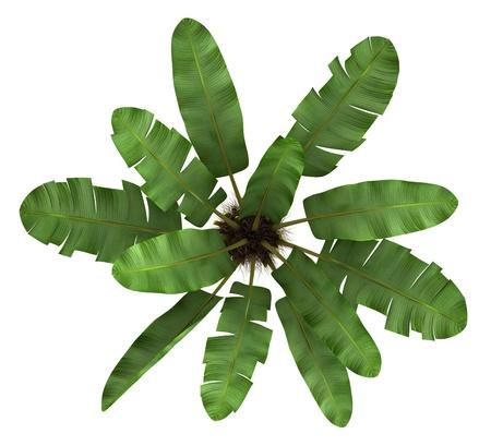 banana leaf: vista desde arriba del �rbol silvestre palma pl�tano aislado sobre fondo blanco Foto de archivo
