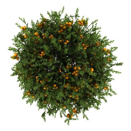 オレンジの木の白い背景で隔離のトップ ビュー