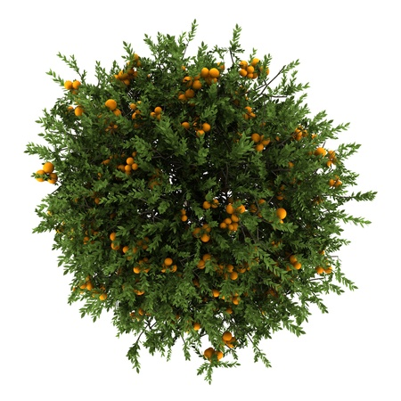 top view of orange tree isolated on white background