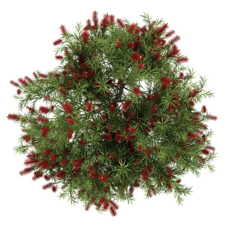 top view of bottlebrush tree isolated on white background photo