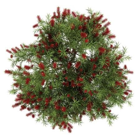 vis�o: vista de cima da árvore bottlebrush isolado no fundo branco