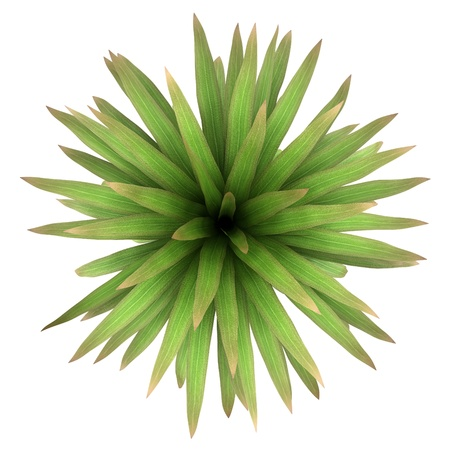 top view of mountain cabbage palm tree isolated on white background photo
