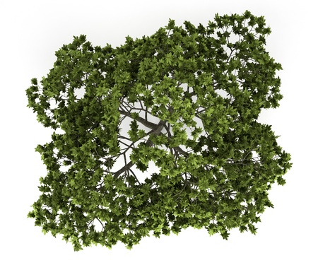arbre vue dessus: vue de dessus du figuier commun isol� sur fond blanc Banque d'images